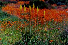 Panoramio is no longer available Spring Flowers, Wild Flowers, Succulent Species, All About Africa, Meadow Garden, Rare Flowers, Small Gardens, South Africa, Succulents