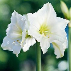 Ludwig Dazzler---Grow 'Ludwig Dazzler' and you'll be sure to have a white Christmas. This magnificent variety produces pure-white flowers that stand proud atop 30-inch-tall stems.
