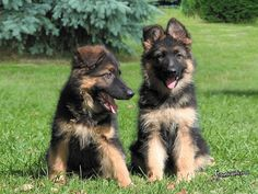 German Shepherd/Collie Mix ahh so cute I Love Dogs, Cute Dogs, Animals And Pets, Cute Animals, Tropical Fish Aquarium, German Shepherd Puppies, German Shepherds, Cutest Dog Ever, Yorkshire Terrier Puppies