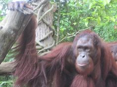 Amazing Singapore Zoo - Singapore - Reviews of Singapore Zoo - TripAdvisor pic #Singapore #Zoo Singapore Zoo, Trip Advisor, Amazing, Animals, Animales, Animaux, Animais, Animal