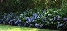 landscaping with hydrangea bushes | The hydrangea plant is known for its rounded shape and large leaves ...