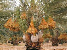 อินทผลัม สรรพคุณ ผลไม้ชั้นเยี่ยมกลางทะเลทราย ที่คุณรู้แล้วอึ้ง! - Postjung.com