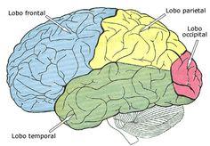 Artigo sobre os lobos cerebrais, quais são as funções dos lobos do cérebro humano, o lobo frontal, lobos parietais, lobos occipitais e lobos temporais, onde ficam localizados, etc.