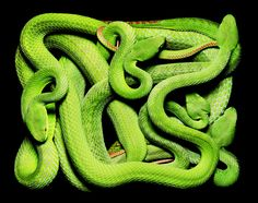 Trimeresurus stejnegeri is a species of VENOMOUS pit viper endemic to Asia. Common names include bamboo viiper, Chinese tree viper, and Chinese green tree viper (and others). http://en.wikipedia.org/wiki/Trimeresurus_stejnegeri