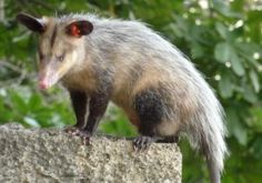 Opossum Facts