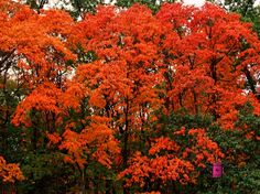 Forest Fire #photography #card #print #canvas #nature #autumn #Fall #foliage #tree #leaves