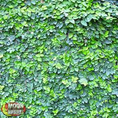 CREEPING FIG Ficus pumila As its name suggests, the Creeping Fig can literally cover up everything. It's an excellent choice for walls, fence covers, and trellises due to its rapid and aggressive growth rate.