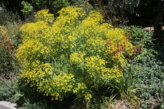 "Euphorbia ceratocarpa  Sun to light shade   48"" h- 60""w"