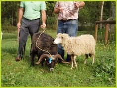 Xalda sheep - rare small breed, are 55.5 cm tall for females; 61 cm for males. Mainly located in Asturias (Northern Spain). The Xalda sheep may be included within the Celtic sheep breeds like the French Ouessant and the British Black Welsh and Morite.