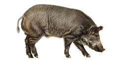 An encounter with a wild boar momentarily realigns our relationship to nature in a time of mass extinction.