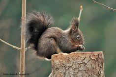 Google+ Amphibians, Reptiles, Mammals, Preschool Math Games, Red Squirrel, Rodents, Nature, Squirrels, Google