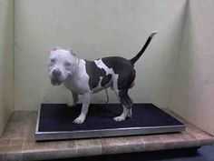 SAFE - 08/29/15 - CHAMP - #A1049178 - Urgent Brooklyn - MALE WHITE/GRAY AM PIT BULL TER, 1 Yr - OWNER SUR - EVALUATE, HOLD RELEASED Reason PERS PROB - Intake Dat 8/25/15 Due Out 08/25/15 CAME IN WITH GUCCI #A1049177