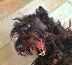 Scottish Terrier Matico:  I love getting my belly scratched!
