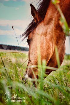 Einen Tag mit einer #Pferdeherde zu verbringen ist schon etwas ganz besonderes. Ich hatte im letzten Jahr die Möglichkeit dazu und es war schon sehr beeindruckend. Die Ruhe die sie ausstrahlen, das gemächliche Fressen und das hier im jetzt sein. Eine unglaublich schöne Erfahrung die auch sehr inspirierend wirkt. An diesem Tag sind so viele wunderschöne harmonische Bilder entstanden... Ich kann es nur jedem empfehlen! #pferde Horse Pictures, Community, Horses, Group, Live, Board, Animals, Inspiration, Inspiring Pictures
