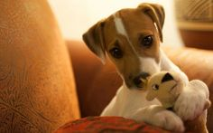 Jack Russell Terrier Puppy & her favorite little toy. Parson Jack Russell, Jack Russell Puppies, Parson Russell Terrier, I Love Dogs, Cute Dogs, Jack Terrier, Jack Russells, Baby Puppies, Little Dogs