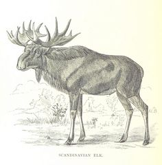 Image taken from page 350 of 'A Summer in Norway ... Also, an account of the red-deer, reindeer and elk. [With plates, including a portrait.]' | by The British Library