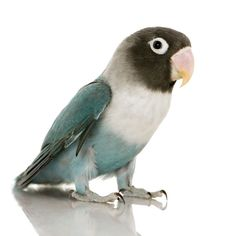 Black Masked Lovebird | The Black Masked lovebird is a handsome creature.