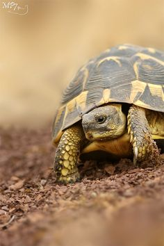 I have seen numerous suggestions for Russian tortoise diet Some great Some awful. Russian Tortoises are nibblers and appreciate broad leaf plants. Cute Tortoise, Tortoise Habitat, Giant Tortoise, Tortoise Turtle, Tortoise Food, Sulcata Tortoise, Terrapin, Cute Turtles, Baby Turtles