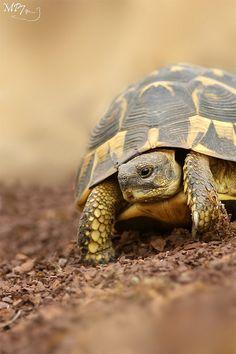 Tortoise by Matthieu Berroneau