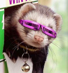 ferret pics cute - Google Search