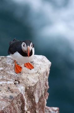 Puffin - Cruden bay by Kenny Muir on Flickr.