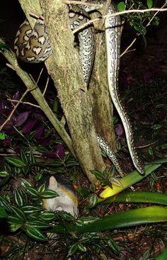 Carpet Python - Nerang, Gold Coast Hinterland, Queensland, Australia Bird Aviary, Green Trees, Wild Birds, Gold Coast, First Night, Python, Wildlife, Carpet, Queensland Australia