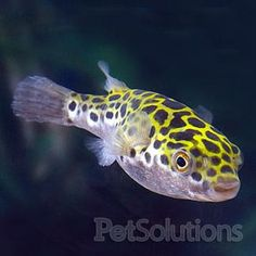 Spotted Puffer,I bought this the other day and as soon as i put in tank it eat a neon fish!!!