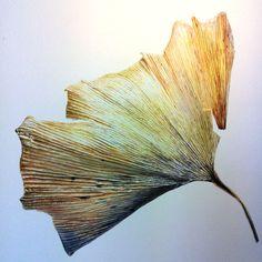Maidenhair Tree (Ginkgo biloba) botanical illustration