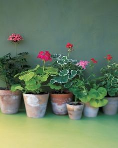 The Enchanted Cove  love red geraniums in simple terracotta pots