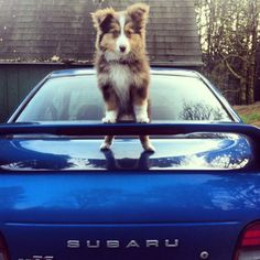 An adorable and proud little pup perched on a Subaru WRX!