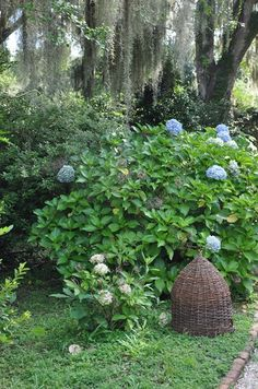 Bee Skep and blue hydrangea - Nancy's Daily Dish