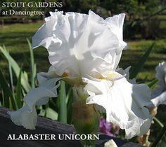 Iris 'Alabaster Unicorn'  ~ Tall Bearded Iris