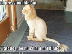 OH MY! Its a loin!  I had a cat. Just like him and we shaved him like that too. It was so cool lol
