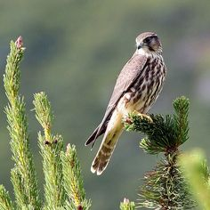 Smyrill (Falco columbarius) - Merlin