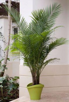 15 best indoor palms images indoor palm trees indoor palms rh pinterest com