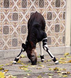 Okapi calf (Nkosi) by scara1984 on Flickr.