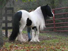 Kadison of Gypsy King, 2006 Gypsy Vanner Horse stallion