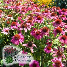 Echinacea Pow Wow Wildberry (Coneflower) Strong blooming perennial that attracts butterflies