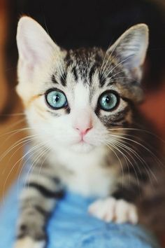 Blue Eyed Kitties - Aren't they adorable! Click to see more fabulous pictures of catsand kittens.