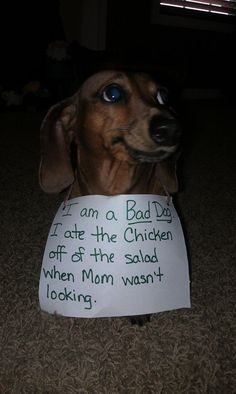"""I ate the chicken off the salad when Mom wasn't looking."" ~ Dog Shaming shame - Dauschound - So SORRY"