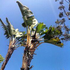 #bananatrees #LA  by WILLPOWER STUDIOS   WILLIAM ISMAEL   www.WillpowerStudios.com