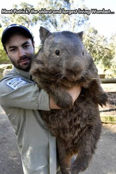 Funny pictures about That Is A Big Wombat. Oh, and cool pics about That Is A Big Wombat. Also, That Is A Big Wombat photos. Large Animals, Animals And Pets, Baby Animals, Funny Animals, Cute Animals, Strange Animals, Pet Animals Images, Wombat, Funny Koala