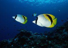 Butterfly Fish - Pauls Rock, Vila by Rowland Cain, via Flickr