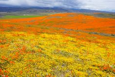 The Antelope Valley Poppy Reserve, located north of Los Angeles, close to the city of Lancaster, is one of the best places to admire the California poppy! Antelope Valley Poppy Reserve, Anza Borrego State Park, Lancaster California, Lake Elsinore, Canyon Lake, California Poppy, July 25, Different Plants, Downtown Los Angeles
