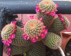 17/6/2013 floracion cactus