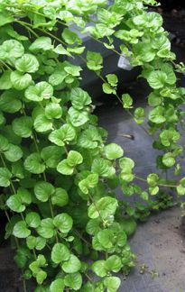 "Satureja douglasii ""yerba Buena""  CLAY, SAND & SHADE TOLERANT, it also grows under oaks & makes a lush, flat, evergreen groundcover for shade, spreading to 6' across & up to 2' tall. Fantastic used as a trailer, especially over a shady wall,"