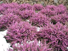 'Kramer's Rote' or 'Kramer's Red' (Winter Heath) is a compact, vigorous shrub with clouds of magenta flowers from mid winter to mid spring Ground Cover Plants, Plants, Evergreen Shrubs, Heather Gardens, Magenta Flowers, Flowers, Colorful Flowers, Blooming Plants, Winter Garden
