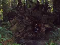 Becoming one with the roots of the Redwoods.