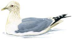 カモメ|日本の鳥百科|サントリーの愛鳥活動