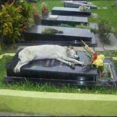 """""""For the past 7 years, a German shepherd called Capitán has slept next to the grave of his owner every night at 6pm.""""  """"He [Capitan] turned up here one day, all on his own, and started wandering all around the cemetery until he even...tually found the tomb of his master,"""" the cemetery's director, Hector Baccega, told the newspaper. """"During the day he sometimes has a walk around the cemetery, but always rushes back to the grave. And every day, at 6 o'clock sharp, he lies down on top of the…"""